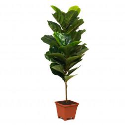 Planta Artificial 90cm Gomero Bighouse